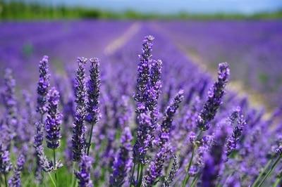 Fleur de lavande, médecine naturelle