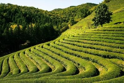 Jardin de thé, médecine naturelle