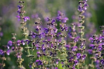Anti sueur Sauge Remède naturel